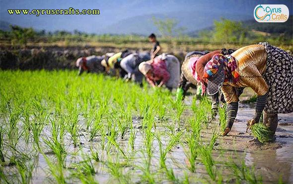 iranian rice field